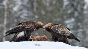 Maakotka 2343 (Aquila chrysaetos) Golden Eagle Utajärvi Finland December 2009