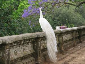 145869__white-peacock_p