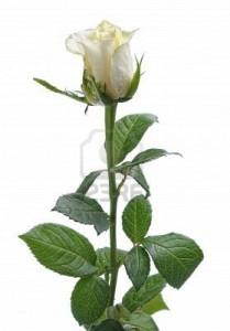 9347101-sola-flor-blanca-rosa-aislada-sobre-fondo-blanco1