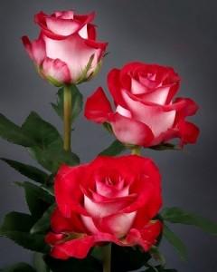 Fotos-de-rosas-rojas-9