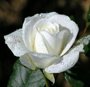 Rosas Blancas 13