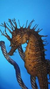 caballitos-de-mar-especies-en-peligro-de-extincion-4969