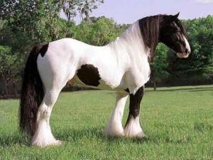 caballo-pinto-frisón_370977921