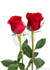 dos-rosas-rojas-hermosas-en-el-aislamiento-del-fondo-18201893