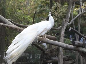 pavo-real-blanco_4