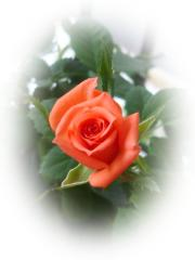 rosa_hermosa_dsc00674