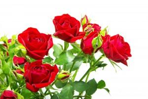 rosas-rojas-con-fondo-blanco-flores-del-jardin