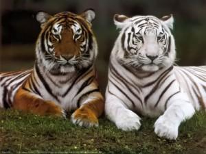 tigres-en-extincion