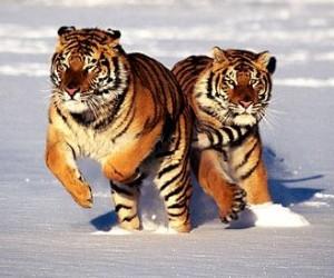 tigres-siberianos