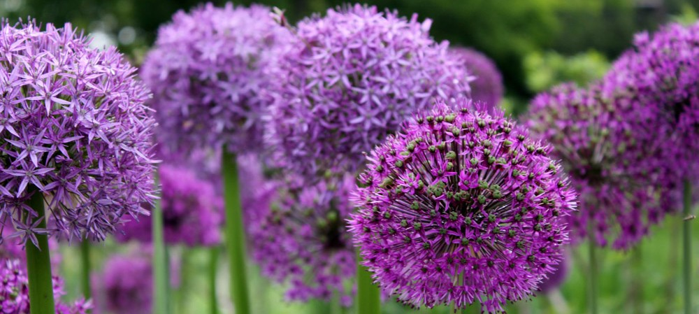 cropped-round-purple-flowers-smaller