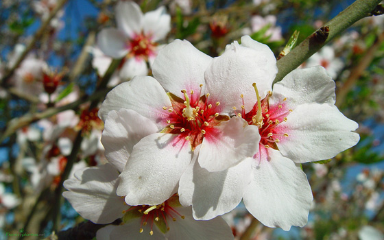 flores-de-almendro-b