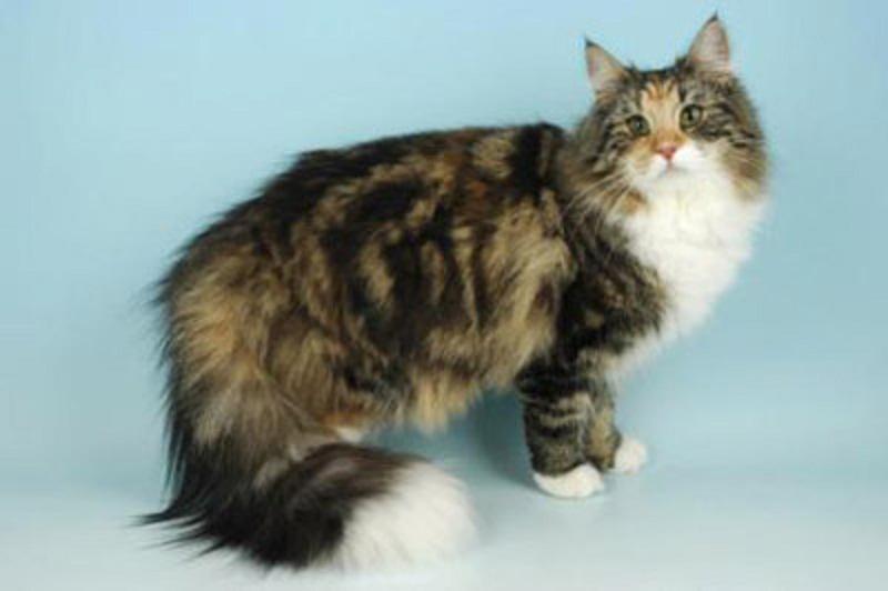 gatos-angora-turco-8