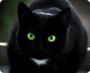 gatos-negros-son-menos-adoptados