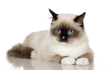 identify-angora-cat-800x800