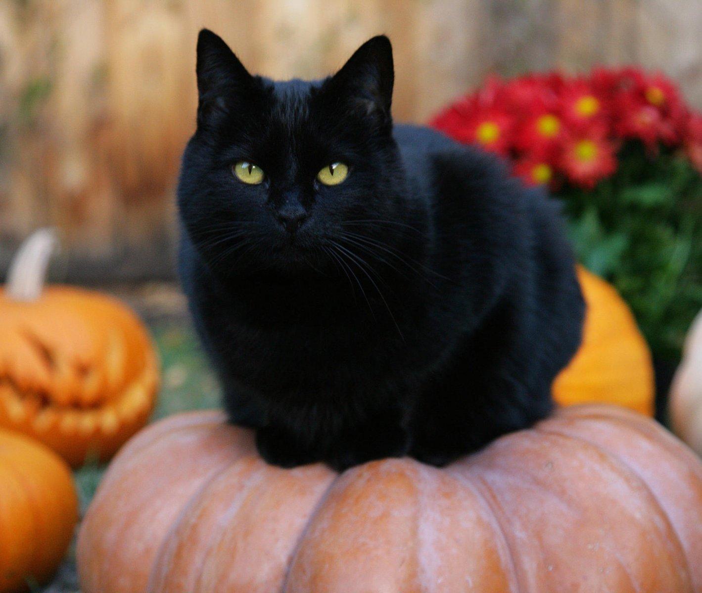 razas-gatos-negros