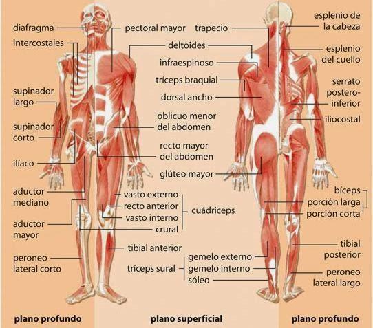 Musculos del cuerpo humano - Partes 2