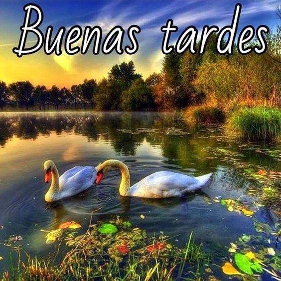 Saludos-De-Buenas-Tardes-Imágenes-Con-Cisnes