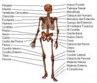 Imágenes de el esqueleto humano