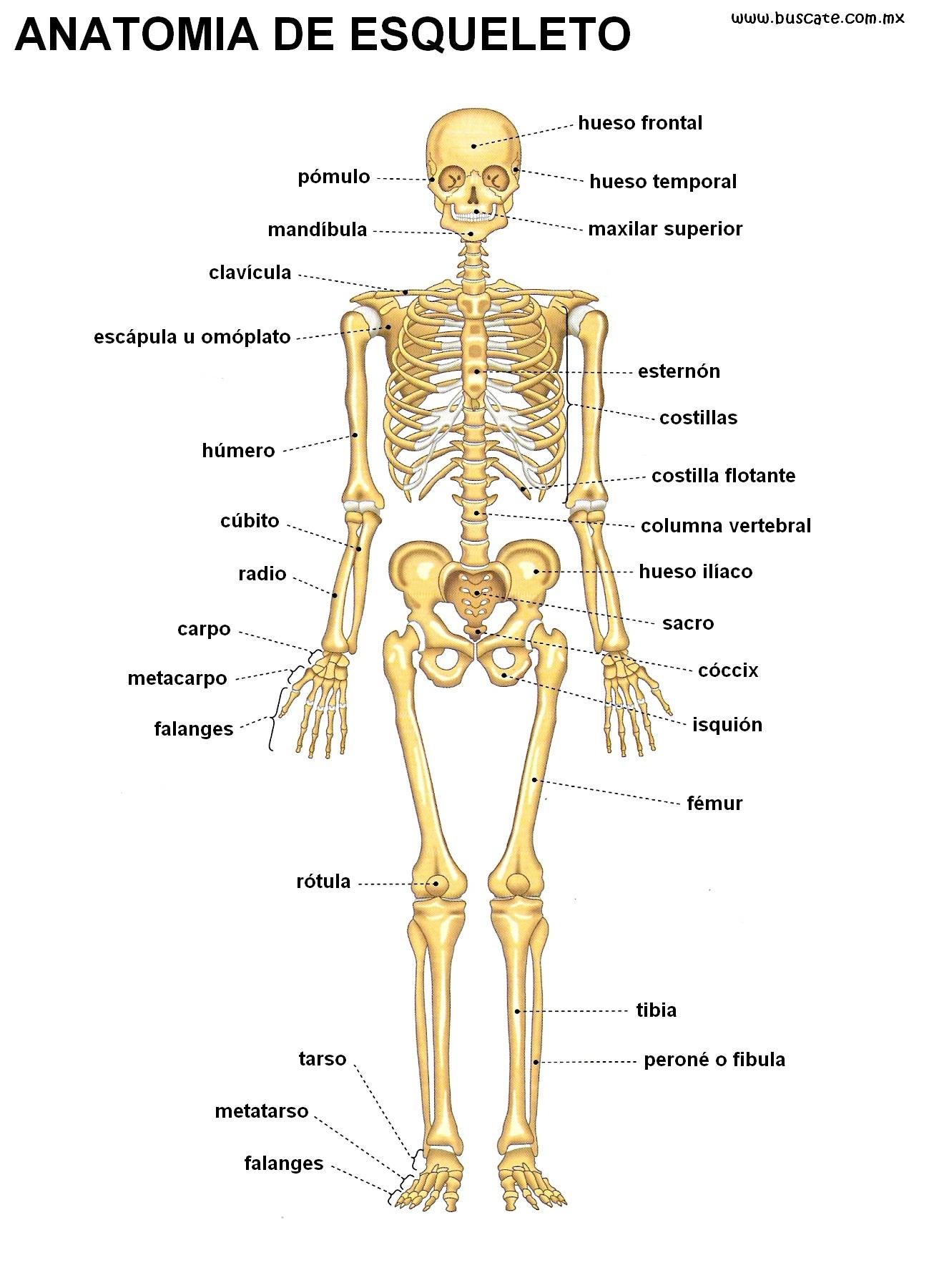 Imágenes de el esqueleto humano | todo en imágenes