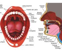 Imágenes de la lengua y sus partes del cuerpo humano