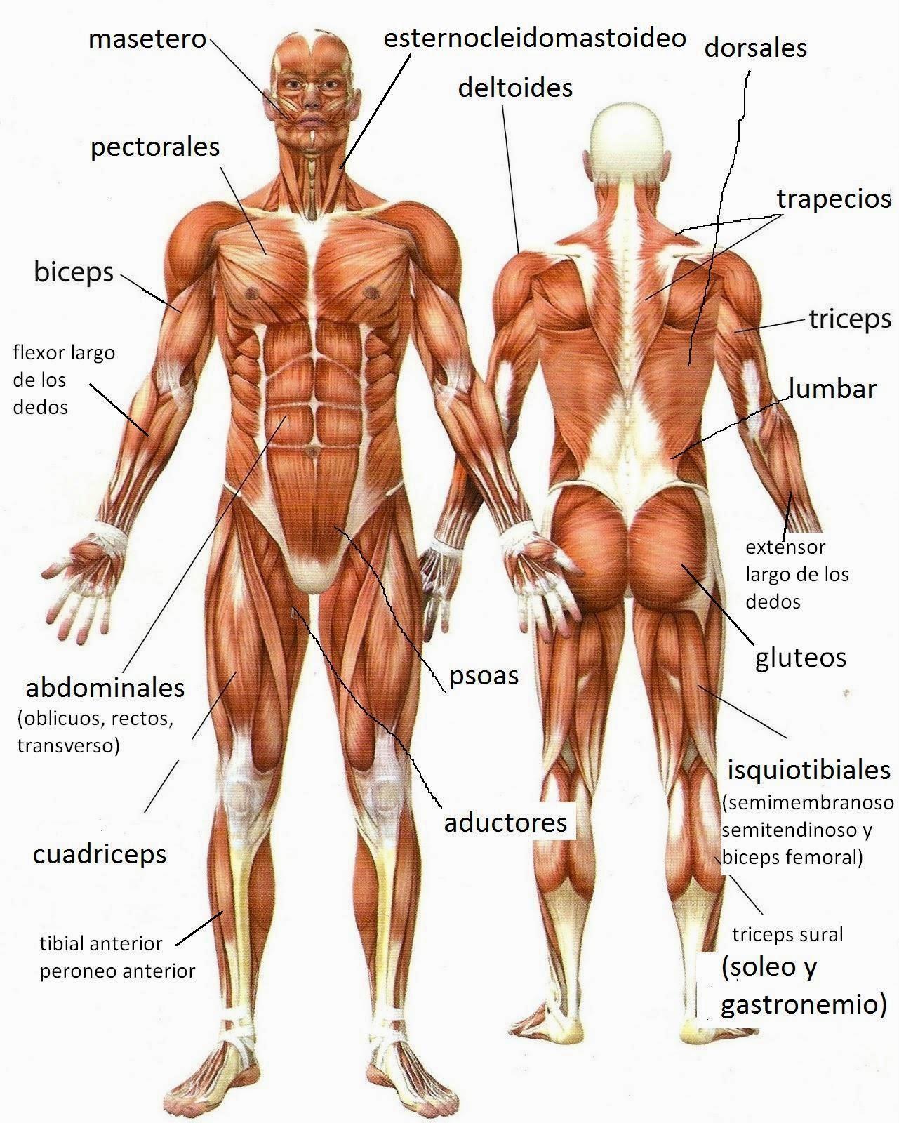 musculos-del-cuerpo-humano-1