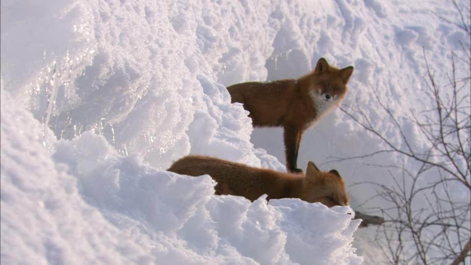 260037589-zorro-rojo-kamchatka-paisaje-de-nieve-reposar-animal