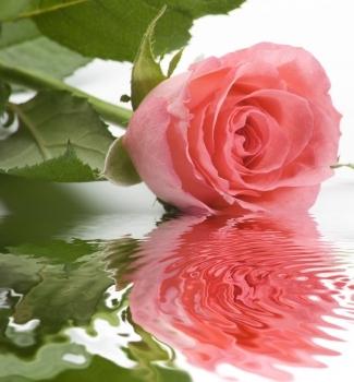el agua de las rosas