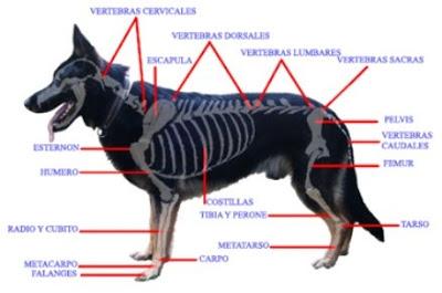 esqueleto del perro-