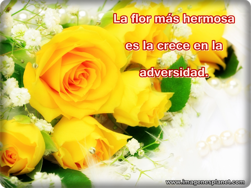 fotos-de-rosas-amarillas