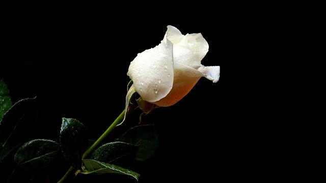 fotos-de-rosas-blancas para luto