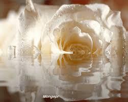 rosas blancas con gif