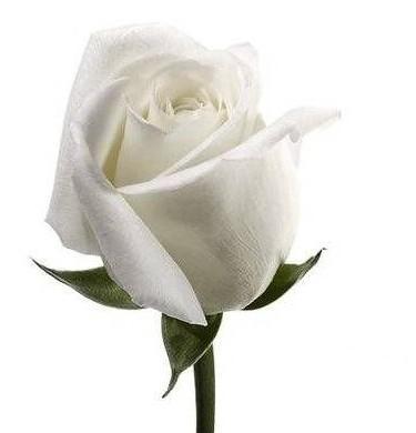 rosas blancas-de-luto