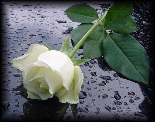 rosas blancas de luto