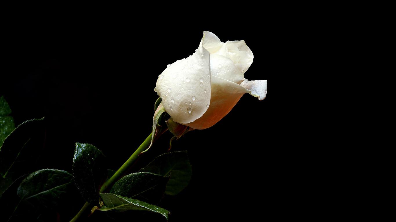 rosas blancas para las novias