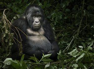 gorilla más grande
