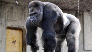 mira las imágenes del gorila más gande del mundo
