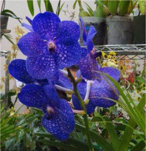 orquídeas azules 2