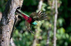 quetzales volando