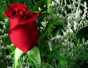 rosa linda 8