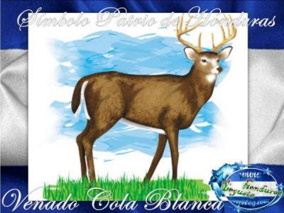 El-Venado-Cola-Blanca-Simbolo-Patrio-de-Honduras-1-Tegusta-