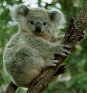 animales - en - peligro - de - extinción Koala-