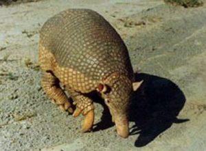 animales - en - peligro - de - extinción _armadillo