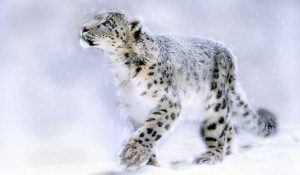 animales - en - peligro - de - extinción  leopardo-de-las-nieves