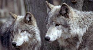 animales-feroces