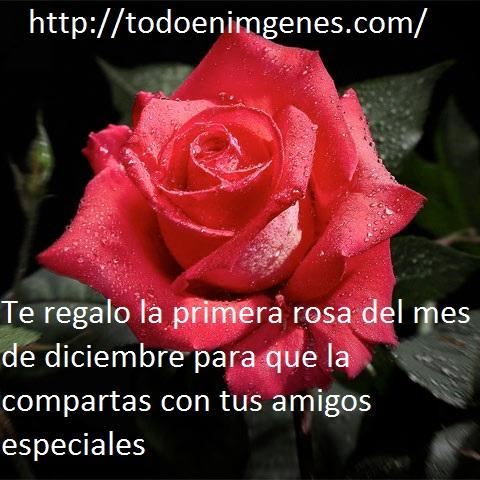 te-regalo-la-primera-rosa-del-mes-de-diciembre-7