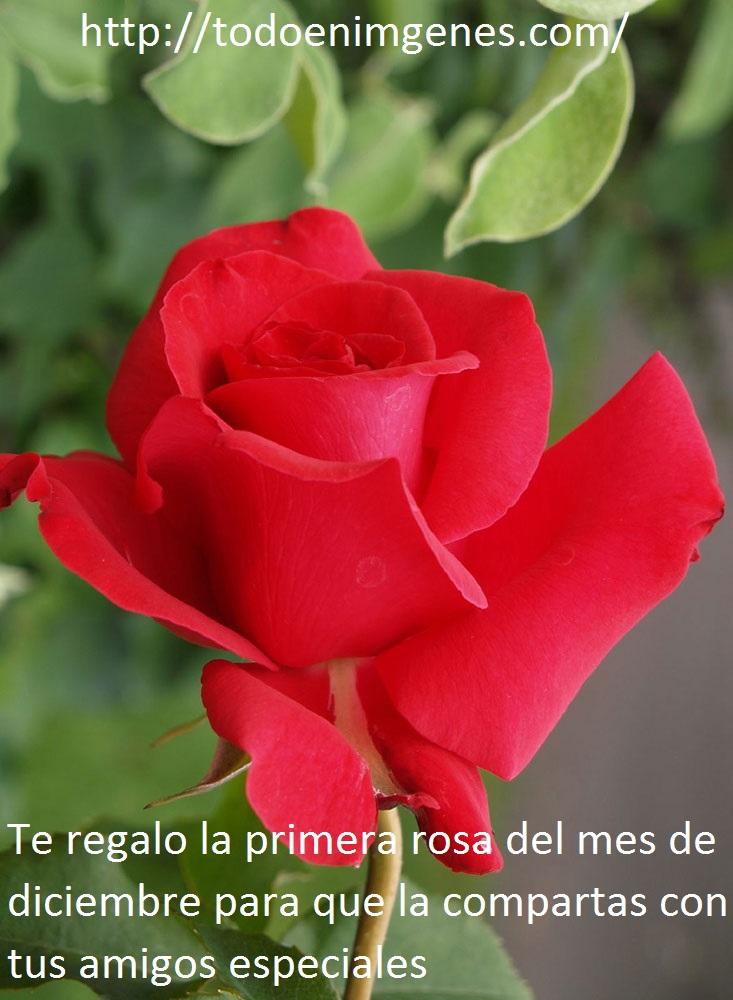 te-regalo-la-primera-rosa-del-mes-de-diciembre-8
