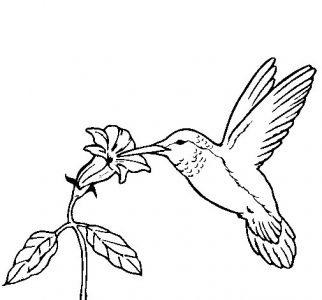 colibri-y-una-flor-colorear