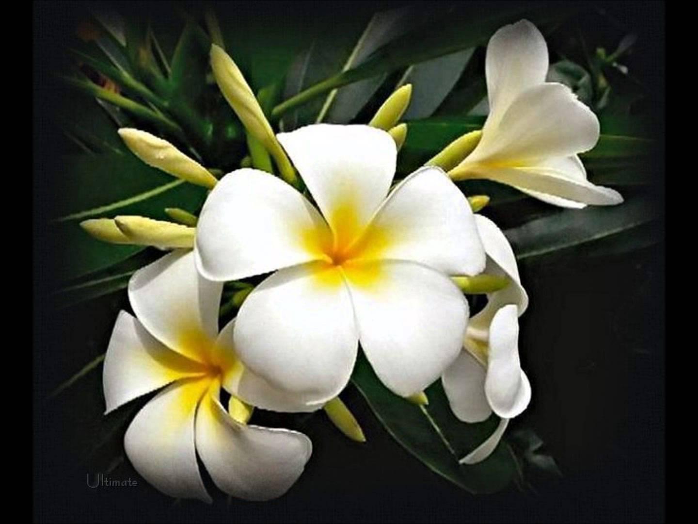 flores-de-jazmin-2