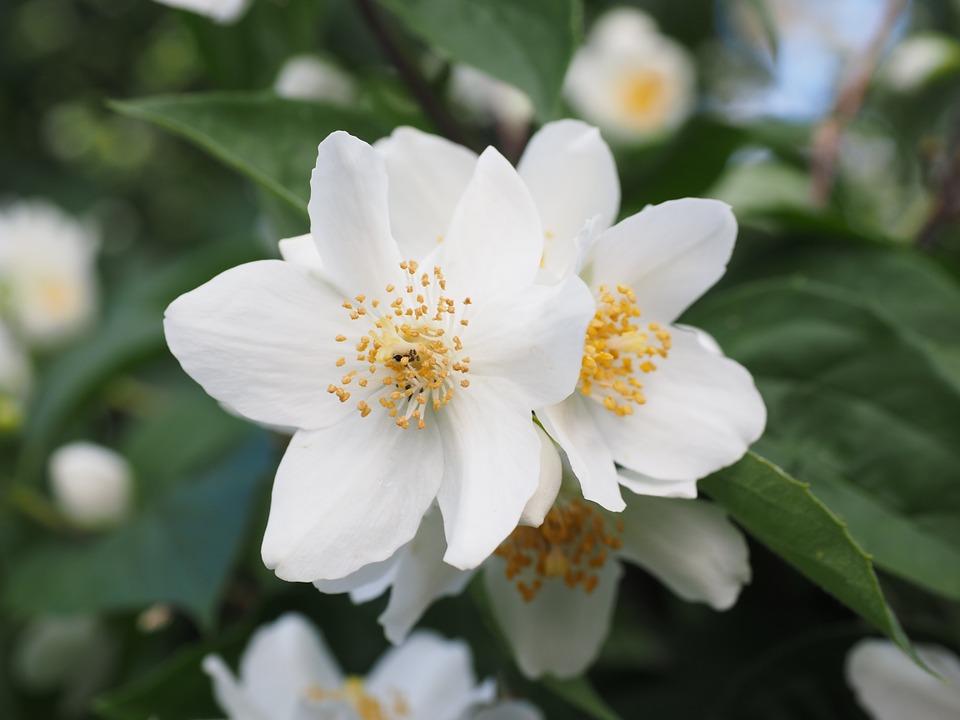 flores-de-jazmin-3