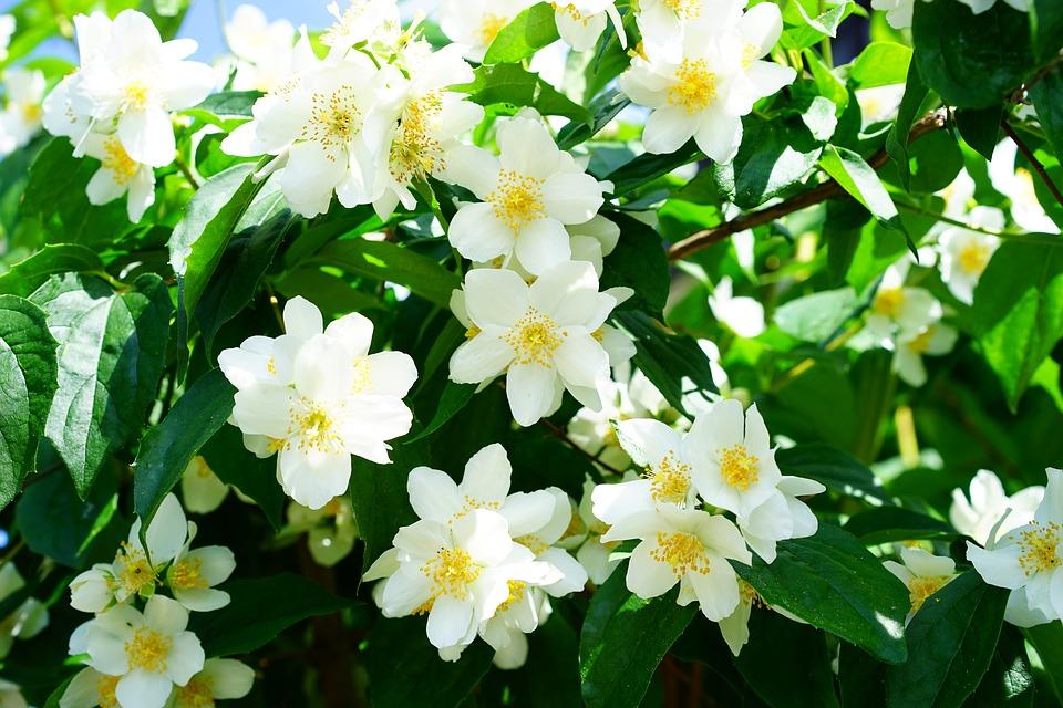 flores-de-jazmin-5